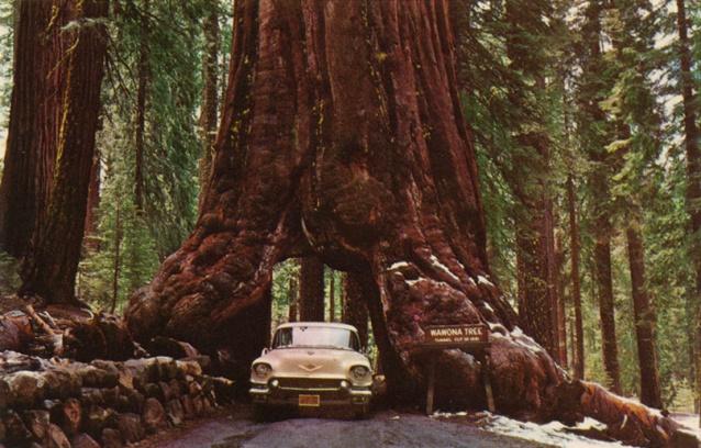 Sequoia Gigante - Yosemite Nacional Park